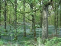 Lake District woods are carpted in sapphire bluebells in spring